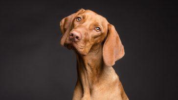chien Vizslafotozas / Pixabay